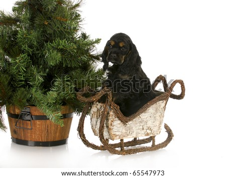 adorable cocker spaniel puppy in sleigh sitting beside christmas tree - stock photo