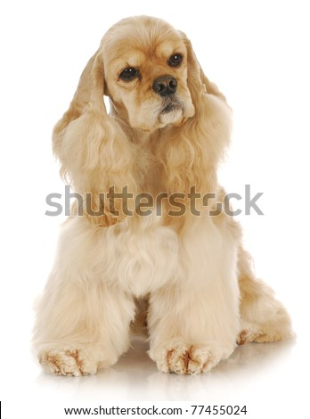 adorable cocker spaniel sitting with reflection on white background - stock photo