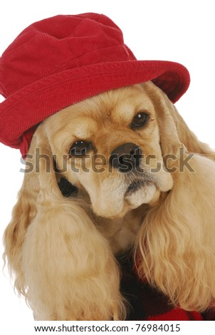 adorable cocker spaniel wearing red hat and plaid coat on white background - stock photo