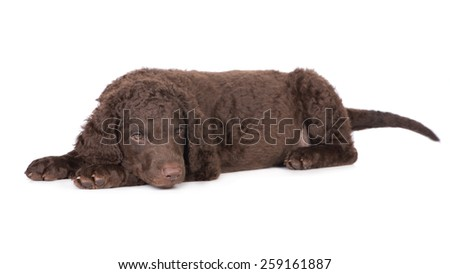 adorable curly coated retriever puppy - stock photo
