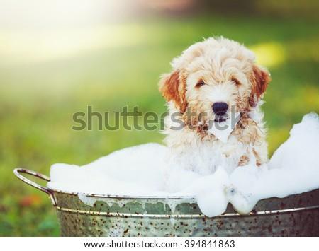 Adorable Cute Pupppy. Goldern Retriever Puppy taking a Bubble Bath - stock photo