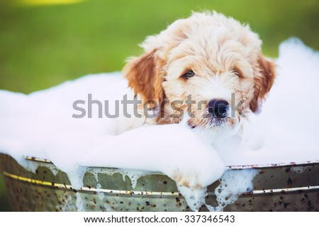Adorable Cute Young Puppy Outside in the Yard Taking a Bath Covered in Soapy Bubbles - stock photo