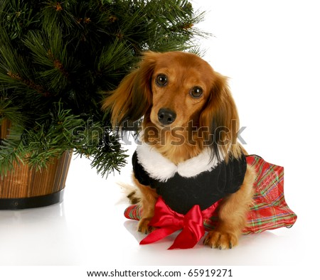adorable dachshund puppy wearing party dress sitting under christmas tree on white background - stock photo