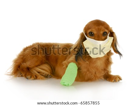adorable dachshund with wounded leg wearing hospital mask with reflection on white background - stock photo