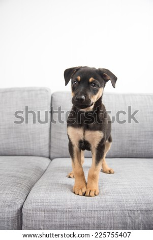 Adorable Doberman Mix Puppy Playing on Gray Sofa at Home - stock photo