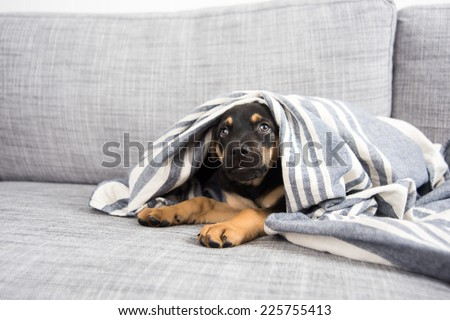 Adorable Doberman Mix Puppy Playing under Blanket on Gray Sofa at Home - stock photo