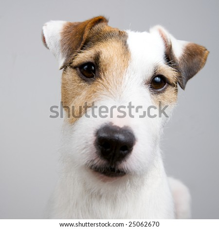 adorable dog on a white background - stock photo