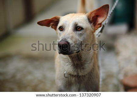 Adorable dog staring during being chained - stock photo