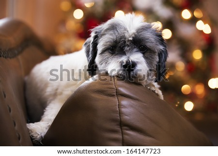 Adorable dog waiting on Christmas - stock photo