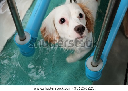 Adorable dog walks in underwater treadmill. - stock photo