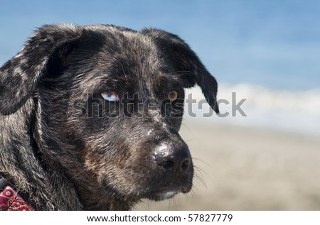Adorable dog with different color eyes standing on a beach next to the ocean water on a beautiful sunny day. - stock photo