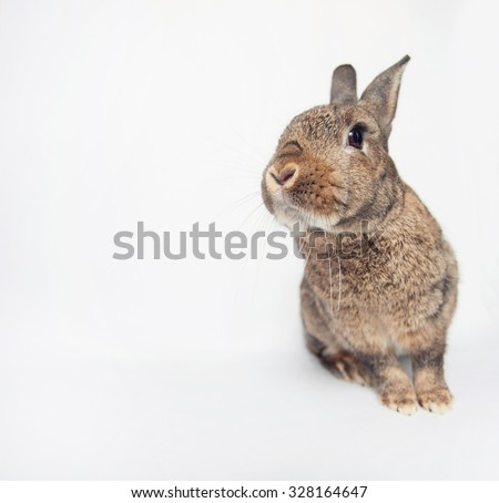 Adorable dwarf bunny looking cheerfully in a shot - stock photo