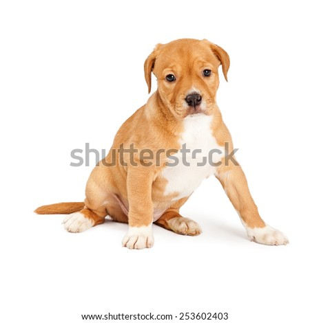 Adorable eight week old mixed Shepherd breed puppy dog - stock photo