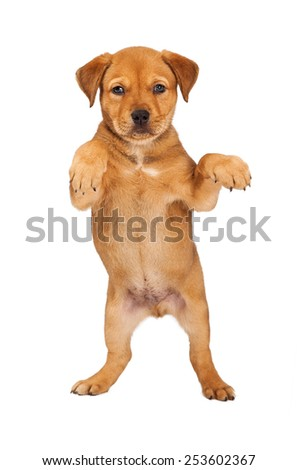 Adorable eight week old mixed Shepherd breed puppy dog standing on hind legs begging - stock photo