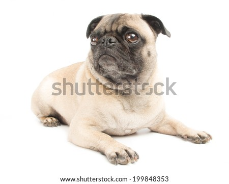 Adorable Fawn Pug Dog Isolated on a White Background - stock photo