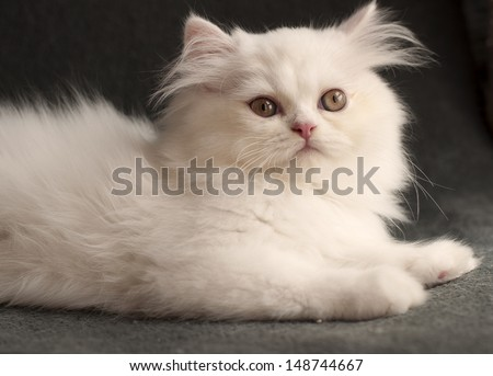 Adorable fluffy clean white Persian kitten  - stock photo