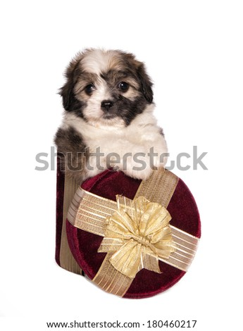 Adorable fluffy toy puppy in red and gold gift box  isolated on white - stock photo