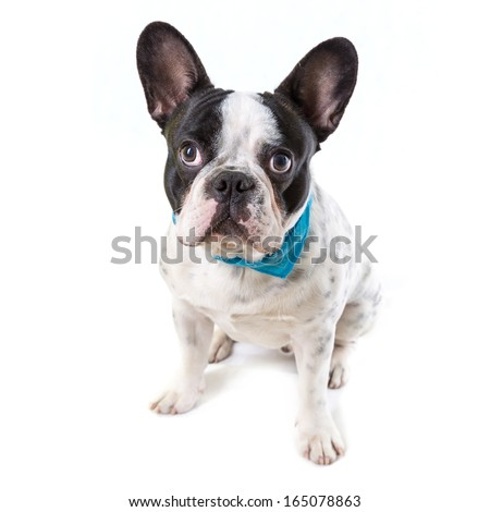 Adorable French bulldog over white background - stock photo