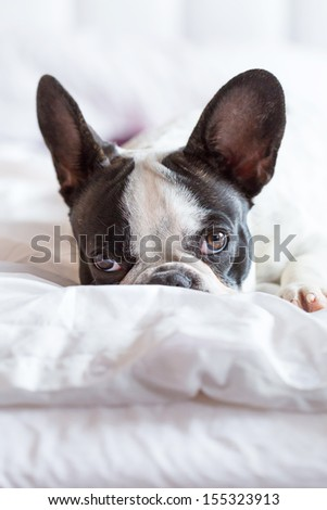 Adorable French bulldog puppy lying in bed - stock photo