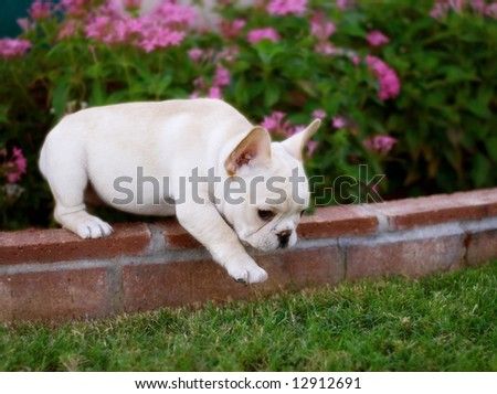 Adorable French Bulldog puppy taking one giant step. - stock photo