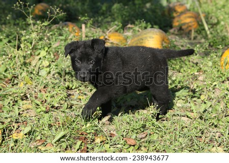 Adorable german shepherd puppy moving in the garden - stock photo