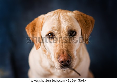 adorable golden lab with sad brown eyes - stock photo