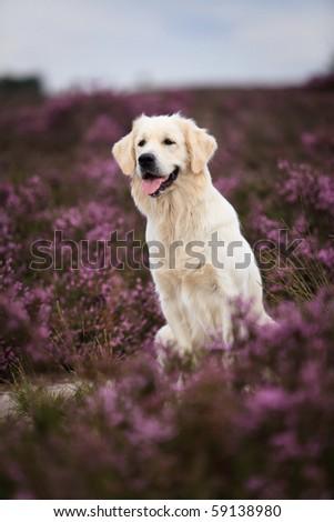 Adorable Golden Retriever in purple moor - stock photo