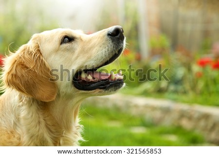 Adorable Golden Retriever on nature background - stock photo