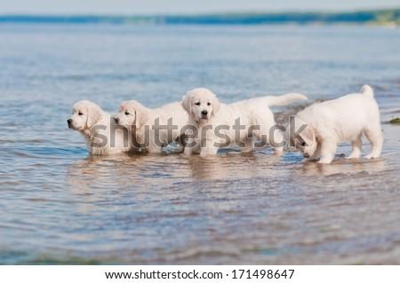 adorable golden retriever puppies on the beach - stock photo
