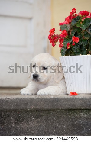 adorable golden retriever puppy - stock photo