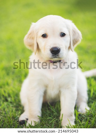 Adorable Golden Retriever Puppy in the Yard - stock photo