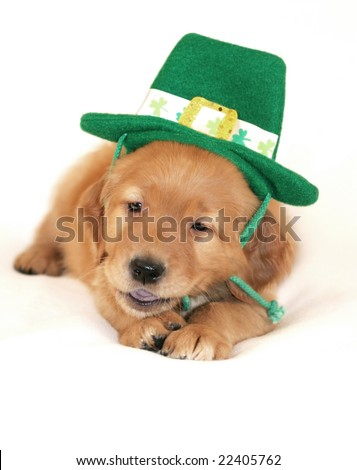 adorable golden retriever puppy wearing saint patricks day hat and chewing on strap - stock photo