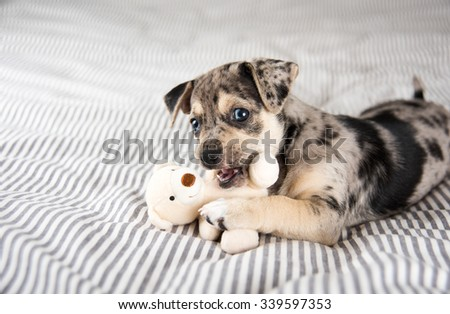Adorable Gray and Black Terrier Mix Puppy Playing with Small Teddy Bear - stock photo
