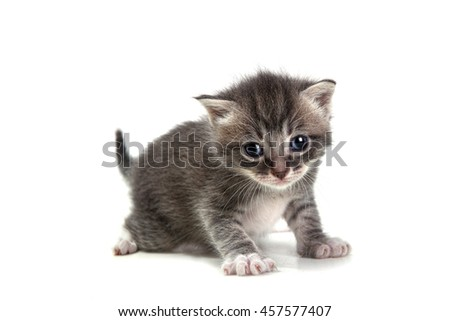 Adorable Grey Kitten on White Background Looking at Camera - stock photo