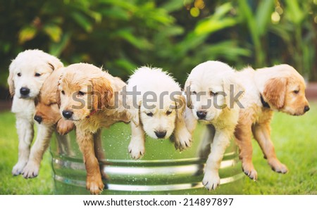 Adorable Group of Golden Retriever Puppies in the Yard - stock photo