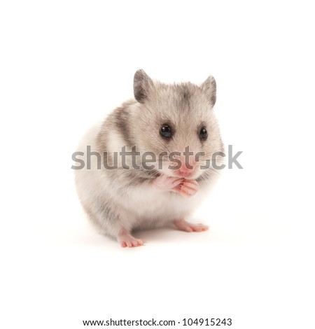 Adorable hamster isolated on white - stock photo