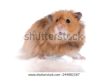 adorable hamster on white background - stock photo