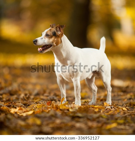 Adorable jack russell terrier in autumn, standing alone - stock photo