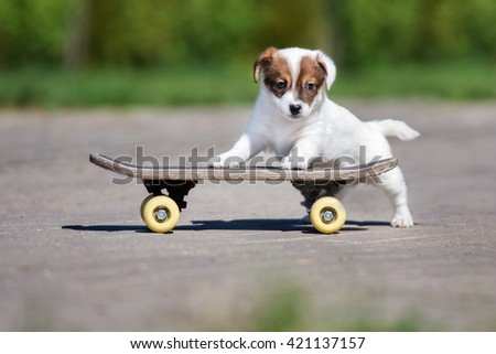 adorable jack russell terrier puppy posing on a skateboard - stock photo
