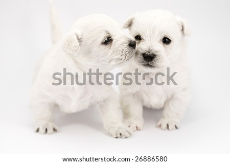 Adorable kissing puppies, only a few weeks old - stock photo