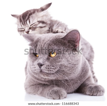 adorable kitten taking a nap on an adult english cat, on white background - stock photo