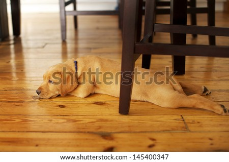 Adorable Labrador Puppy Lying in a Funny Position under a Table - stock photo