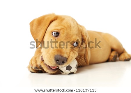 Adorable Labrador Puppy Playing with a Chew Toy on White Backdrop - stock photo