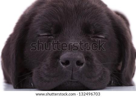 adorable labrador retriever puppy dog sleeping on white background - stock photo
