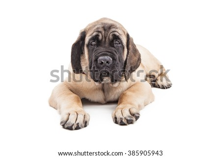 Adorable large Mastiff breed puppy laying over white looking forward - stock photo
