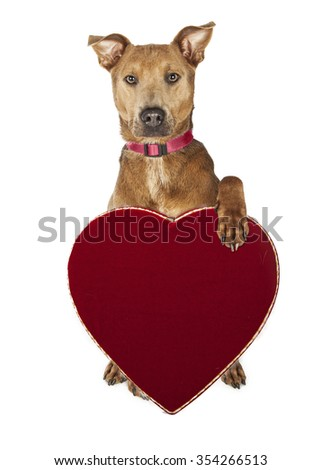 Adorable large mixed breed dog holding red velvet heart-shaped candy box. - stock photo