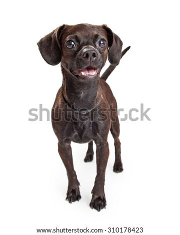 Adorable little black color Beagle and Chihuahua crossbreed dog standing and looking forward with a happy expression - stock photo