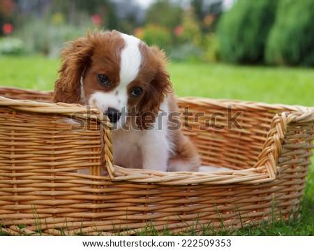 Adorable little cavalier king charles spaniel peeking over wooden basket edge - stock photo