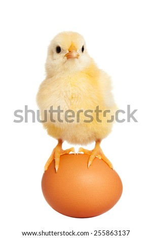 Adorable little chick isolated - stock photo