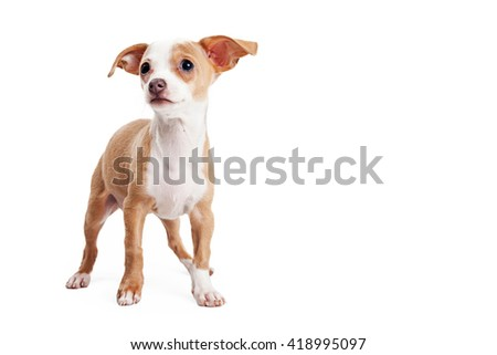 Adorable little Chihuahua crossbreed puppy on white with blank room for text - stock photo